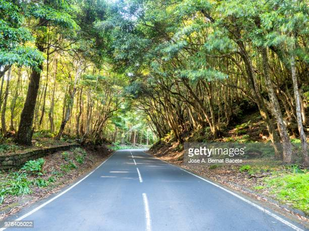 Winding road with rows of big trees to the sides crossing a forest in of the Terceira Island in the Azores Islands, Portugal.