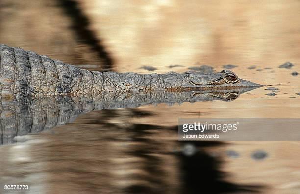 A menacing Johnstone?s freshwater Crocodile lurking in a billabong.