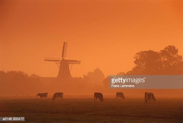 windmill and cows at sunrise - groningen provincie stockfoto's en -beelden