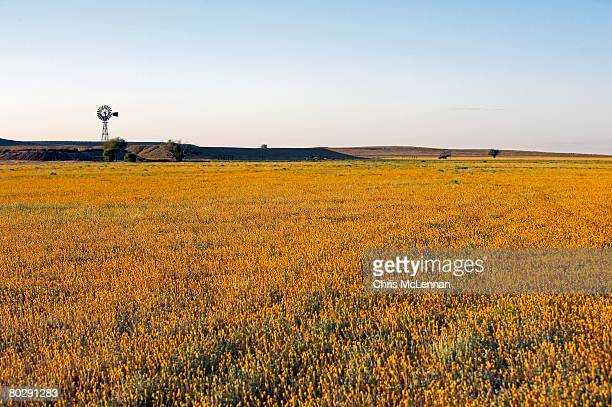 Windmill and wildflowers in the Australian Outback, Simpson Desert, Queensland.