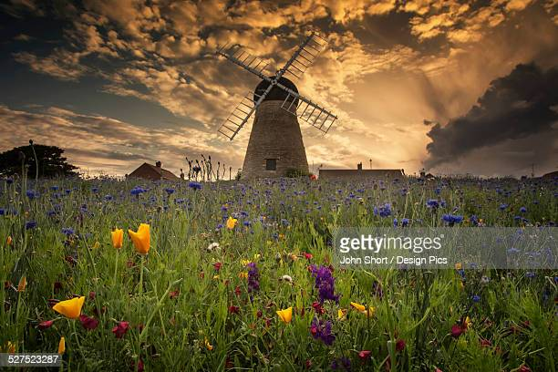 A windmill at sunset with colourful wildflowers in the foreground