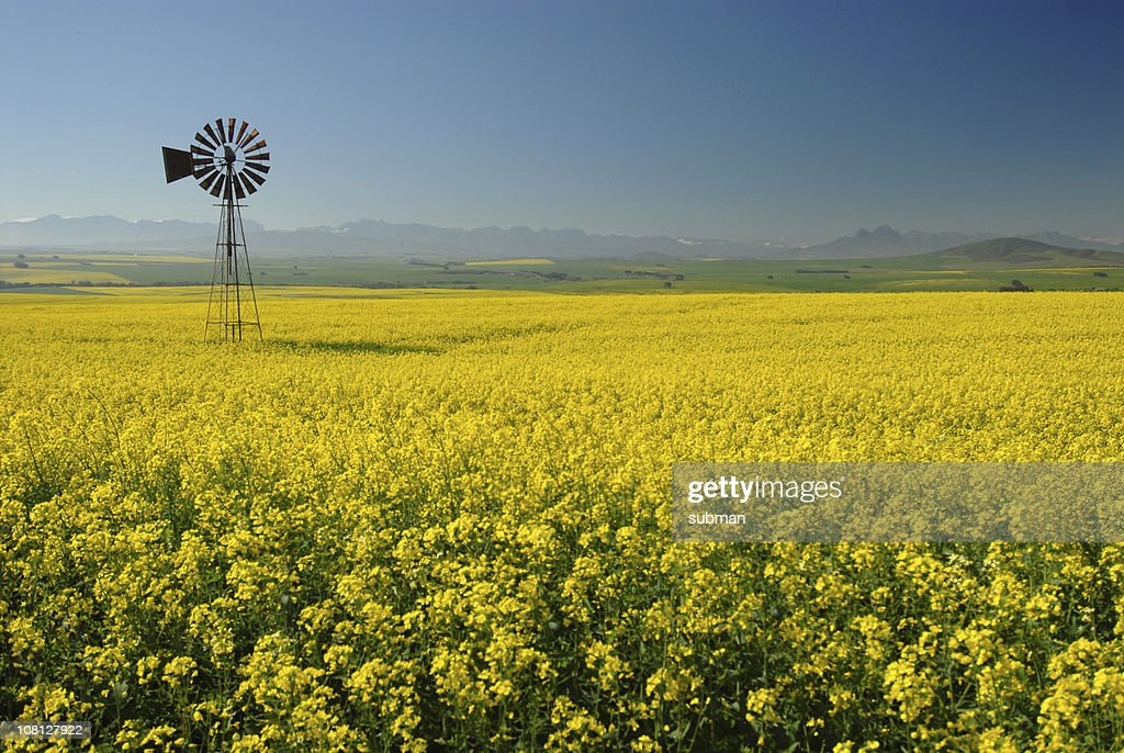 Windmill in Canola(Rape) field : Stock Photo