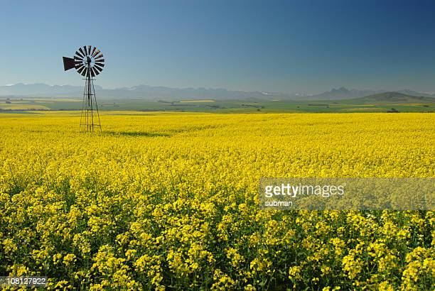 Windmill in Canola(Rape) field