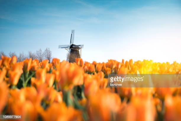 windmill in tulip field - netherlands stock pictures, royalty-free photos & images