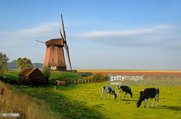 windmill tulips and cows - netherlands stock pictures, royalty-free photos & images