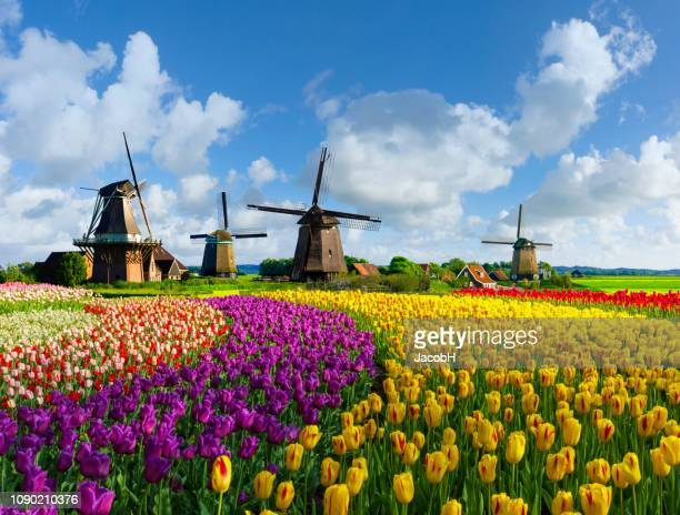 windmills and tulips - dutch windmill stock photos and pictures