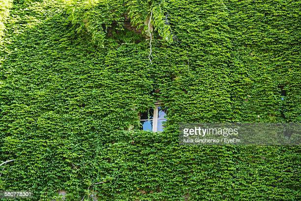 Window Amidst Ivy Covered House