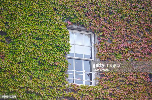 Window and ivy
