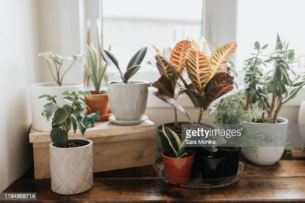 window corner full of house plants - houseplant stock pictures, royalty-free photos & images