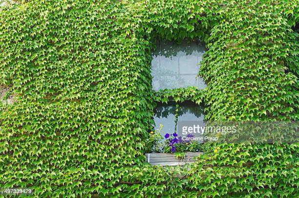 Window surrounded by Boston Ivy