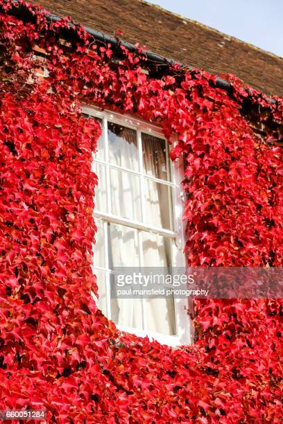 Window surrounded by red ivy