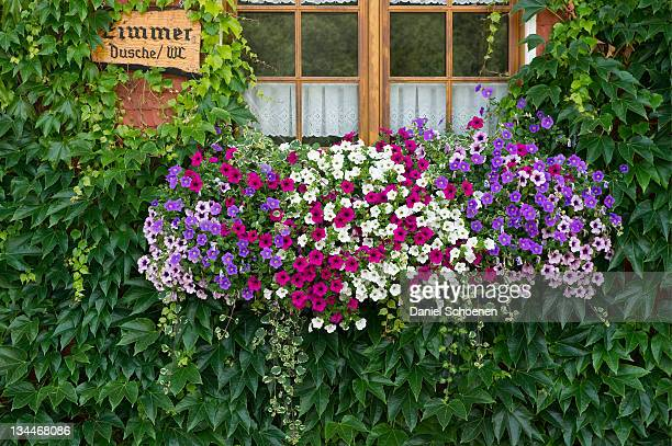window with geraniums, boarding house in titisee, southern black forest, black forest, baden-wuerttemberg, germany, europe - captions stock photos and pictures
