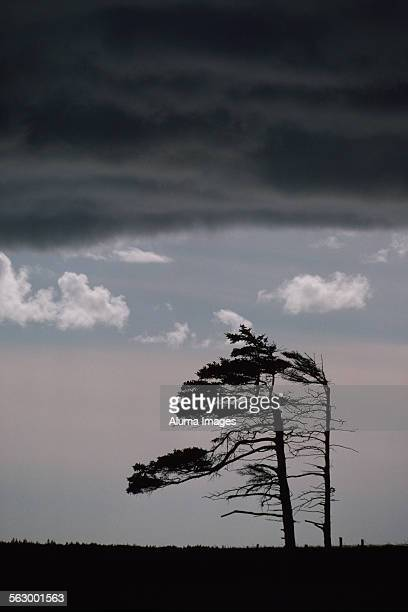 wind-shaped white pine - eastern white pine stock pictures, royalty-free photos & images