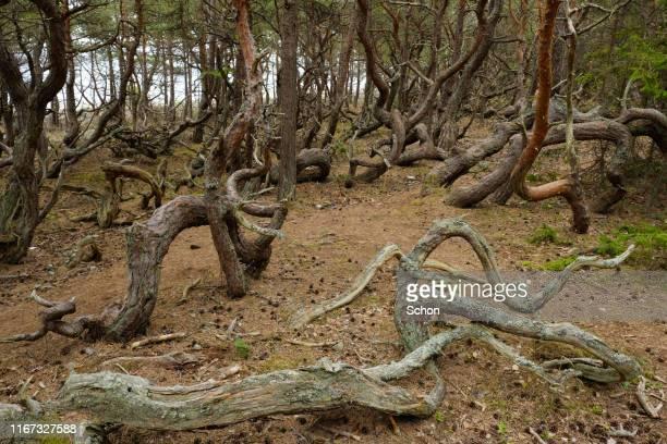 windswept pines in böda kronopark on öland's northern cape one summer day - エーランド ストックフォトと画像