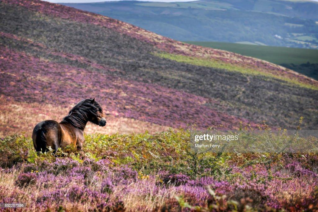 Windswept Pony, Exmoor National Park, Somerset, UK : Stock Photo