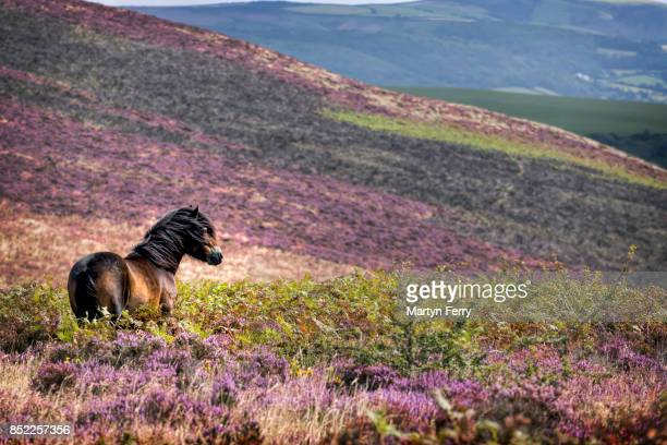 windswept pony, exmoor national park, somerset, uk - pony stock pictures, royalty-free photos & images