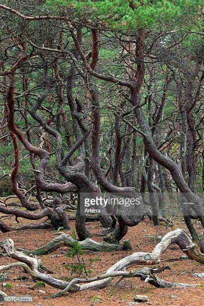 Windswept Scots pine trees with contorted shapes in Trollskogen / enchanted forest / troll's forest í_land / Oeland Sweden