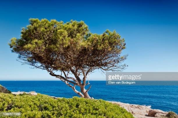 windswept tree and view over the mediterranean sea at cala pi - cultura mediterrânica imagens e fotografias de stock
