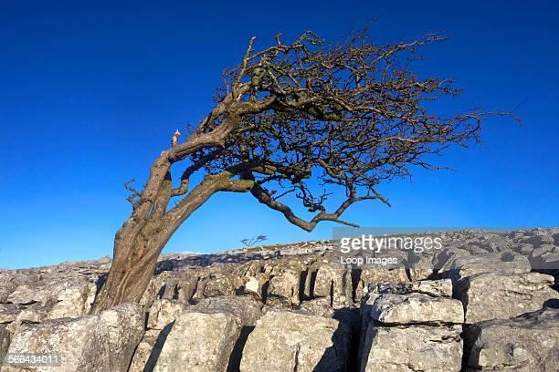 Windswept tree growing on limestone pavement.
