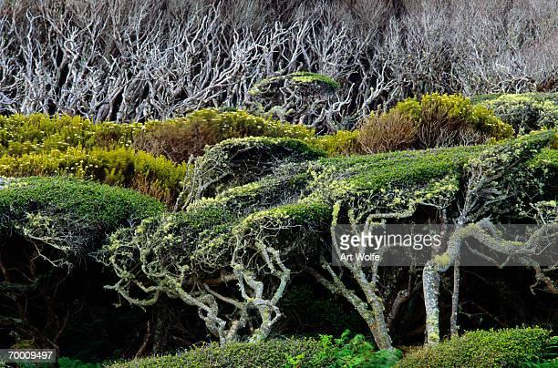 Windswept trees, Enderby Island, Australia