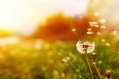 windy dandelion in spring time