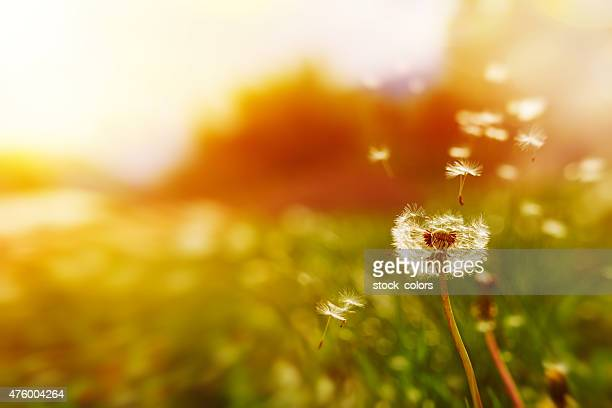 windy dandelion in spring time - wind stockfoto's en -beelden