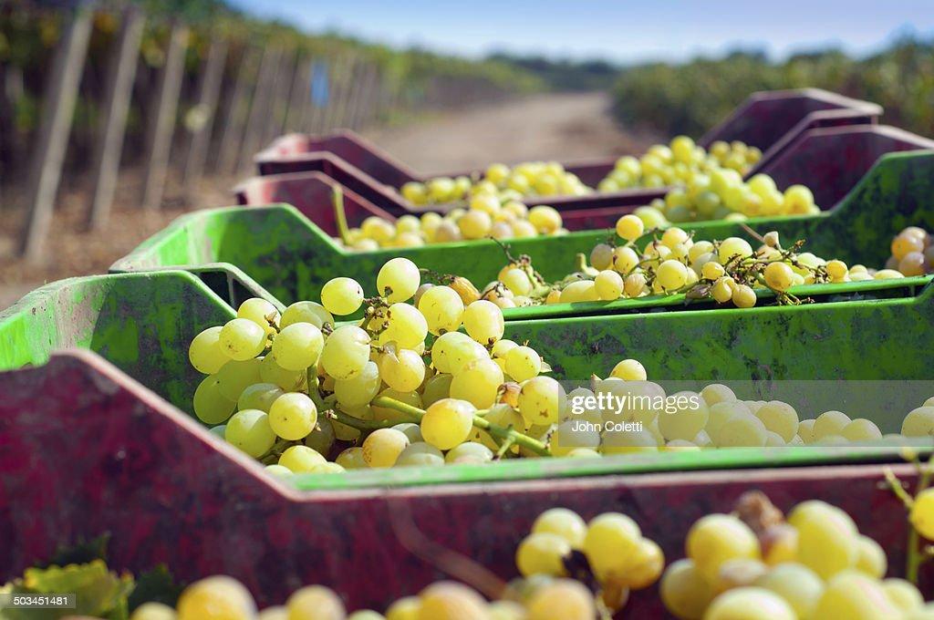 Wine and pisco vineyard, Peru : Stock Photo