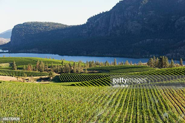 wine country vineyard landscape - okanagan valley stock pictures, royalty-free photos & images