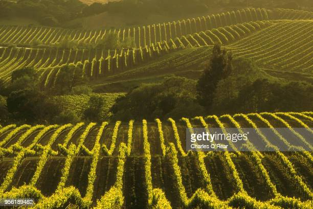 wine country vineyard - napa valley stock pictures, royalty-free photos & images
