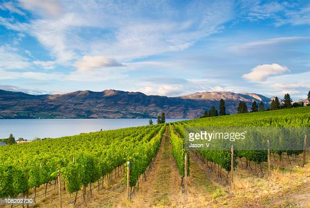 wine country vineyards along lake - british columbia stock pictures, royalty-free photos & images