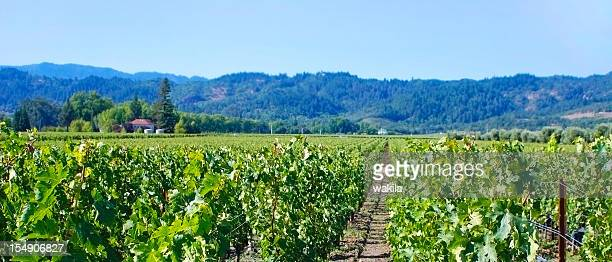 wine crops in toscana italy - chardonnay grape stock photos and pictures