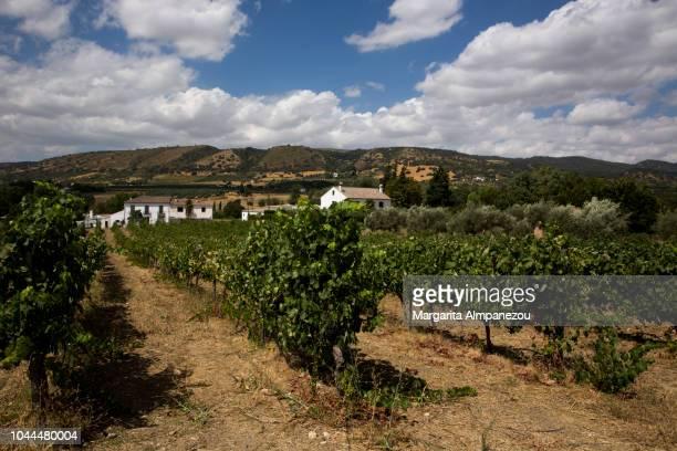 Wine field in Ronda