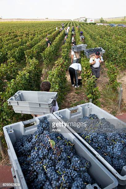 Wine from Burgundy Grape harvest wine property 'Clos Vougeot' Crates of grapes at the far end of the vineyard