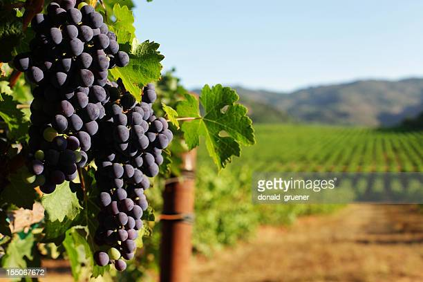 wine grape bunches overlooking vineyard in sunny valley - druif stockfoto's en -beelden