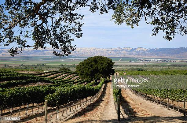 wine grape rows slope downhill, mountains beyond - timothy hearsum stock photos and pictures