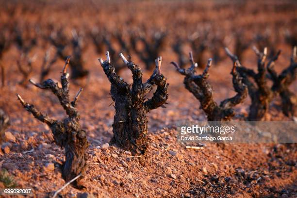 wine grape vineyard in finished season in the Cameros region. La Rioja. Spain