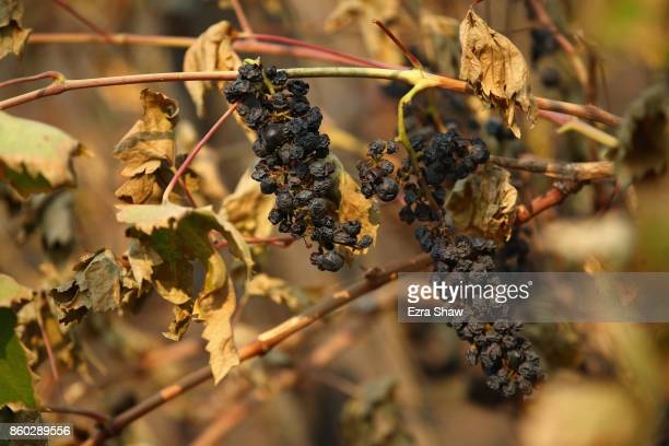 Wine grapes are destroyed by the Tubbs Fire on October 11, 2017 in Kenwood, California. In one of the worst wildfires in state history, more than...
