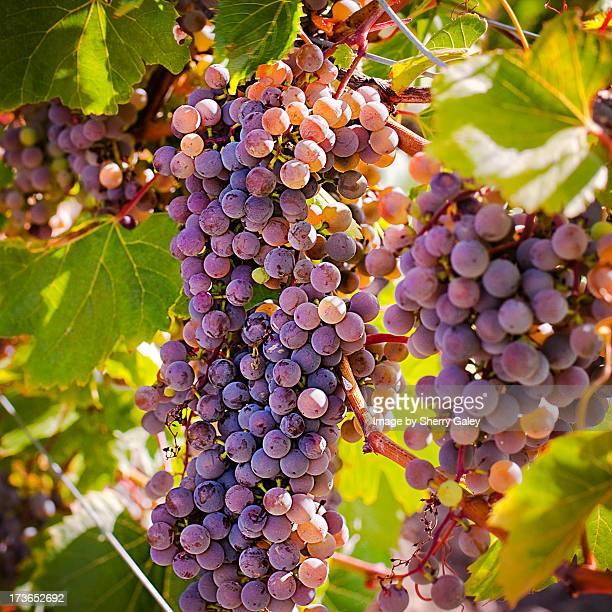 wine grapes, frontenac gris variety - contea di prince edward ontario foto e immagini stock