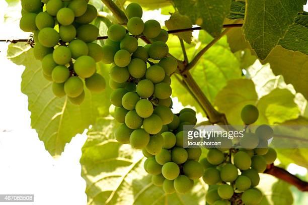 Raisins dans un vignoble en pleine croissance
