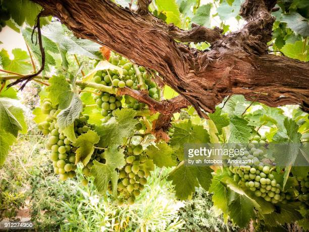wine grapes in an old vineyard in early summer - chardonnay grape - fotografias e filmes do acervo