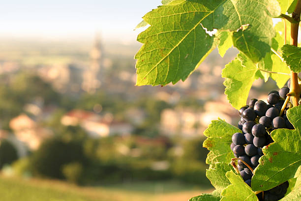 Grapes on Grapevine Overlooking Village