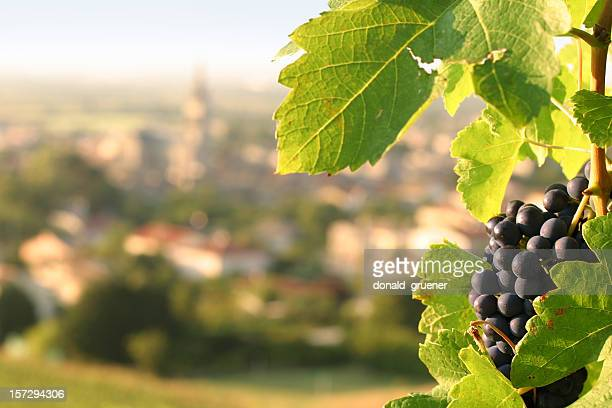 Wine Grapes on Grapevine Overlooking Village in France