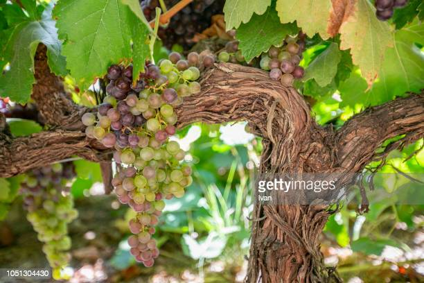wine grapes on grapevine overlooking village - rhone stock pictures, royalty-free photos & images
