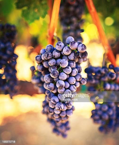 ワイン用のブドウ - cabernet sauvignon grape ストックフォトと画像