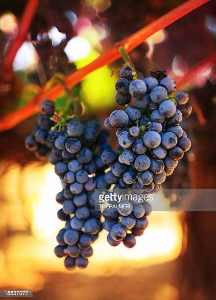 wine grapes - cabernet sauvignon grape stock photos and pictures