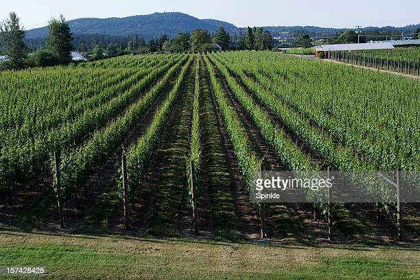 wine grapes. - cabernet sauvignon grape stock pictures, royalty-free photos & images
