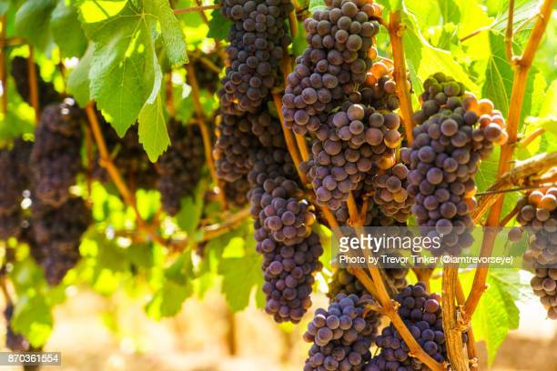 wine grapes - pinot noir grape stock photos and pictures