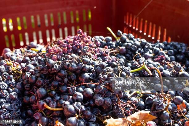 wine grapes ready for pressing in basket - wine stain stockfoto's en -beelden
