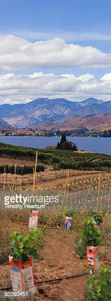 wine grapes with lake and mountains - timothy hearsum imagens e fotografias de stock