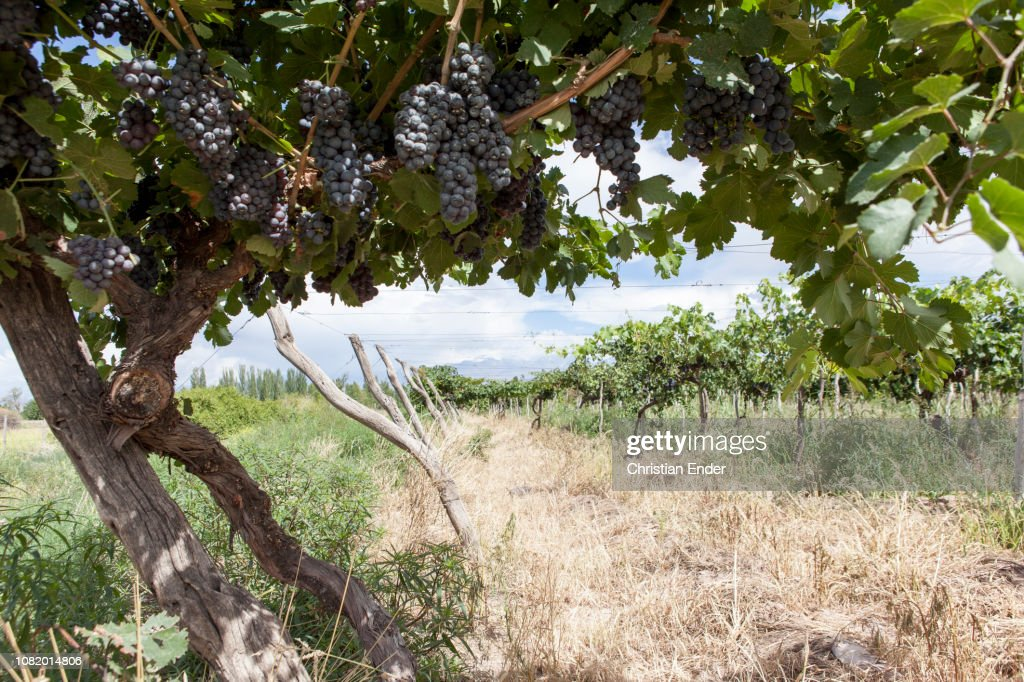 Wine growing near Mendoza : Stock Photo